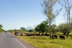 Vieh treibt durch Seite der Straße an Stockbild