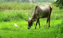 Vieh und Crane Taking ein Spaziergang Lizenzfreie Stockfotos
