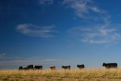 Vieh und Skyscape Stockbild