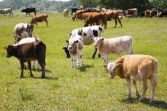 Vieh und Wiese Stockbild