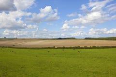 Vieh und Wiese Hereford Lizenzfreie Stockfotografie
