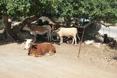 Vieh unter Bäumen Stockfoto