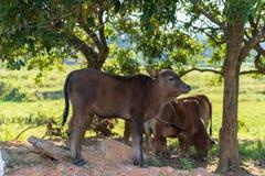 Vieh unter dem Baum stockbilder