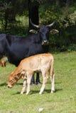 Vieh V stockbilder