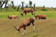 Vieh von Bontebok-Antilopen, Südafrika Lizenzfreie Stockfotografie