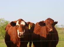 Vieh am Zaun Stockbild