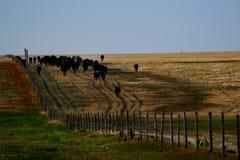 Vieh-Zeile Lizenzfreie Stockfotos