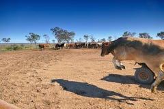 Vieh-Zerstampfung Australien Stockfotografie