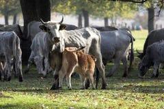Viehbestand Stockfotografie