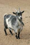Viehbestand Lizenzfreies Stockfoto