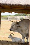 Viehbestand Stockfoto