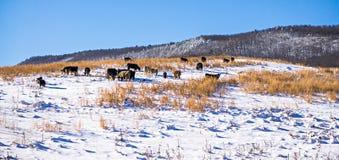 Viehbestand auf der Weide bedeckt im Schnee im Südgebirgsnorden Stockbild