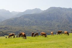 Viehbestand auf Wiese abowe Bohinj See in den slowenisch Alpen mit Bergen im Hintergrund Stockfotos