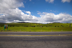 Viehbestand in der Nordinsel lizenzfreie stockfotografie