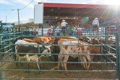 Viehbestand im Stift mit Cowboys und Arena im Hintergrund stockbild