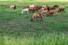 Viehbestandherden des weiden lassenden Viehs Lizenzfreies Stockbild