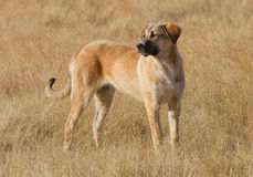 Viehhund Lizenzfreies Stockbild