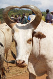 Viehmarkt, Schlüssel-Afer, Äthiopien, Afrika Lizenzfreies Stockfoto