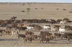 Viehmusterung Lizenzfreie Stockfotos