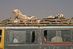 Viehtransport im Gambia, Afrika Stockfoto