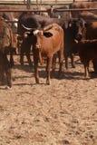 Viehyard Stockbild
