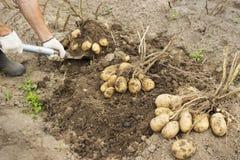 Viehzüchter, der Kartoffel erntet Stockfotos