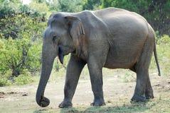 Vieil éléphant Photos stock