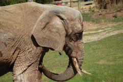 Vieil éléphant Photos libres de droits