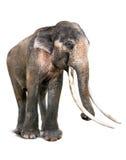 Vieil éléphant de l'Asie et longue défense Images libres de droits