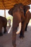 Vieil éléphant masculin avec de grandes défenses Images stock