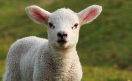Vieil agneau de croix de Texel de semaine Photos libres de droits
