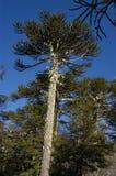 Vieil araucaria d'arbre Photographie stock libre de droits