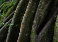 Vieil arbre énorme Image libre de droits
