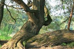 Vieil arbre Images stock