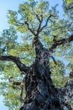 Vieil arbre Images libres de droits