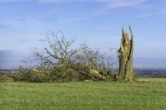 Vieil arbre abattu par la tempête d'hiver Photos stock