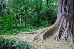 Vieil arbre avec des racines en parc vert, ressort, Espagne Photos libres de droits