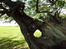 Vieil arbre avec le trou, Lithuanie photographie stock libre de droits