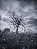 Vieil arbre (B&W) Images libres de droits