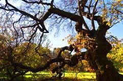 Vieil arbre branchu à l'automne Images stock