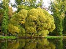 Vieil arbre branchu à un étang Photo libre de droits