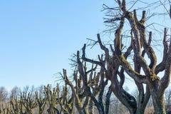 Vieil arbre branchu sans feuillage Photographie stock