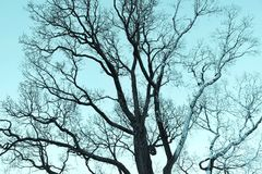 Vieil arbre branchu sans ton bleu monochrome de feuillage Photos stock