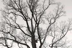Vieil arbre branchu sans ton de monochrome de feuillage Image stock
