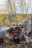 Vieil arbre cassé par la tempête, coup par la foudre, vue verticale Images stock