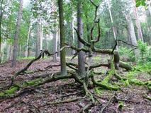 Vieil arbre déraciné couvert dans la mousse Photos libres de droits