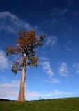 Vieil arbre d'érable Image stock