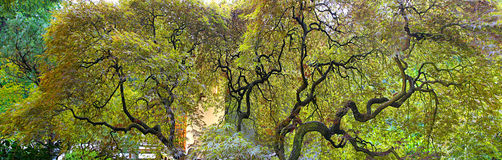 Vieil arbre d'érable japonais de Laceleaf Image libre de droits
