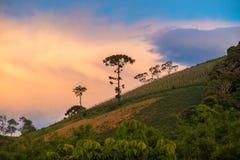 Vieil arbre d'araucaria sur la montagne de colline Photographie stock