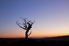 Vieil arbre d'aubépine de Dartmoor Photos libres de droits